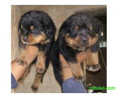 Heavy Rottweiler Puppies available