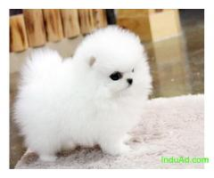 """Priceless White Purebreed Pomeranian Puppy For Adoption"""
