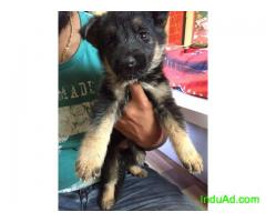 Double coat german shepherd puppies
