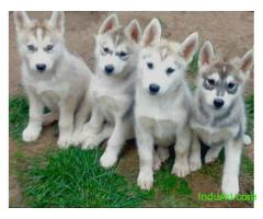 I have 7 beautiful Husky cross Akita puppies which are all ready to go