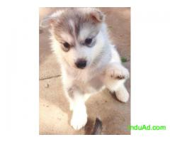 pretty siberian husky ready for new home both male and female available