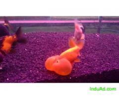 Buffle Gold Fish