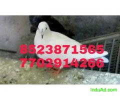 Pigeons at reasonable rates