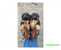 Heavy double Coat German shepherd Puppies