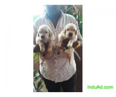 Show quality beagles ;labradors; golden retrievers n other multiple breed puppies are available