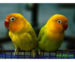 Indian lovebirds for sale