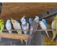 Healthy Love birds for sale