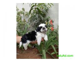 Shih Tzu PuppiesFor Sale