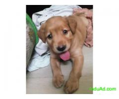 Labrador 30 days male puppy for 9K