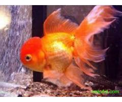 Sheeba aquarium shipping available gold fish ,arowana,sting ray ,bichir , molly, imported koi cop