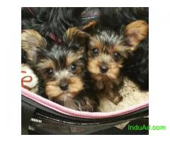 2 Sweet Glamorous Yorkie puppies to rehome.
