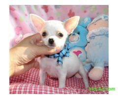 chihuahua pups for adoption
