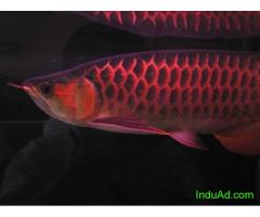 Top Quality Arowana and other Species Available