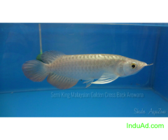 Best quality Cross Back Arowana's for sale at Shades AquaZone, Chennai