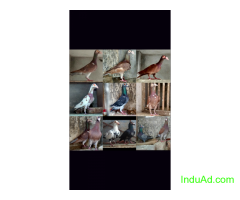 English Pigeons for sale