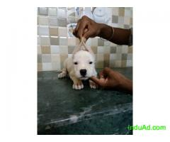 09873262422 dogo mastiff pups available with papers.