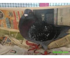 racing homer pigeon male
