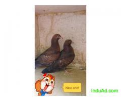 Roller pigeon chicks for sale