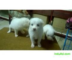 Compact pomeranian puppies female - G