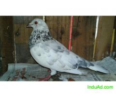 parathu pigeon for sale rs1500