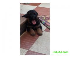 German Shepherd show breed puppies