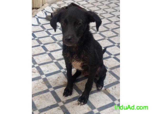 Lhasa Pomolien puppy adopt